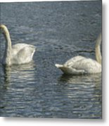 Two Trumpeter Swans At Oxbow Bend Metal Print