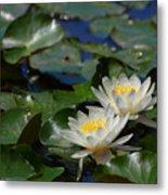 Two White Water Lilies Metal Print