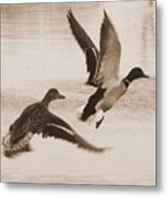 Two Winter Ducks In Flight Metal Print