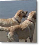 Two Yellow Labs Wait In Anticipation Metal Print