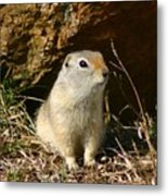 Uinta Ground Squirrel Metal Print