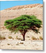 Umbrella Thorn Acacia, Negev Israel Metal Print