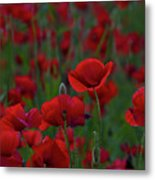 Umbria  Poppies 2 Metal Print