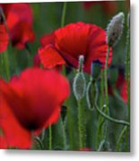 Umbria Poppies Metal Print