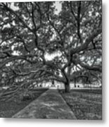 Under The Century Tree - Black And White Metal Print
