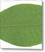 Underside Of A Coca Leaf, Erythroxylon Metal Print