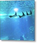 Underwater Manta Background Metal Print