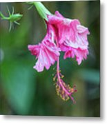 Unfolding Of A Hibiscus Metal Print