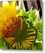 Unfolding Sunflower Metal Print