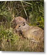 Unita Ground Squirrel Metal Print