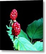 Unripe Blackberries Metal Print