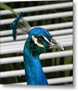 Up Close Peacock Metal Print