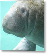 Up Close With A Manatee Metal Print
