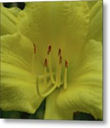 Up-close With A Very Bright Yellow Daylily Flower Metal Print