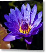 Upbeat Violet Elegance - The Beauty Of Waterlilies  Metal Print