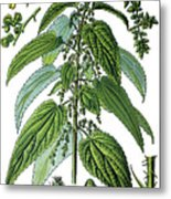Urtica Dioica, Often Called Common Nettle Or Stinging Nettle Metal Print