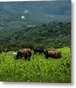Vacas De Ahuachapan Metal Print