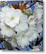 Vancouver 2017 Spring Time Cherry Blossoms - 5 Metal Print