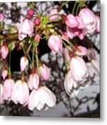 Vancouver Cherry Blossoms Metal Print
