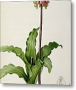 Veltheimia Capensis Metal Print by Pierre Joseph Redoute