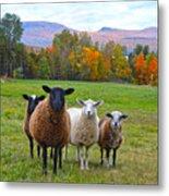 Vermont Sheep In Autumn Metal Print