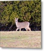 Vermont White-tailed Deer  Metal Print