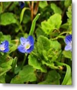 Veronica Speedwell Metal Print