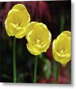 Very Blooming And Flowering Trio Of Yellow Tulips Metal Print