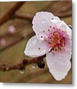 Very Early Peach Blooms Metal Print