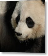 Very Fluffy Furry Face Of A Giant Panda Metal Print