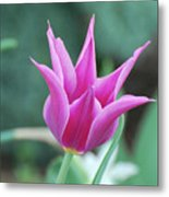 Very Pretty Blooming Pink Spikey Tulip Flower Blossom Metal Print
