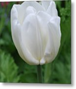 Very Pretty Blooming White Tulip In A Garden Metal Print