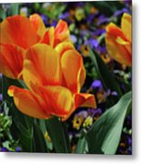 Very Pretty Colorful Yellow And Red Striped Tulip Metal Print