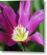 Very Pretty Dark Pink Blooming Tulip With Yellow In The Center Metal Print