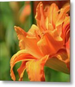 Very Pretty Double Orange Daylily Flowering In A Garden Metal Print