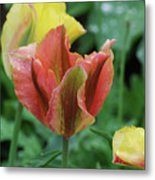 Very Pretty Flowering Pink And Green Striped Tulip Metal Print