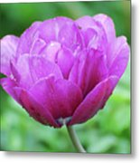 Very Pretty Lavender And Pink Tulip Blossom Flowering Metal Print