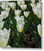 Very Pretty Spring Garden With Flowering White Tulips Metal Print