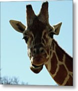 Very Tall Giraffe Metal Print