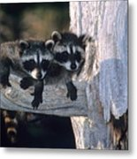 Very Young Raccoons Metal Print