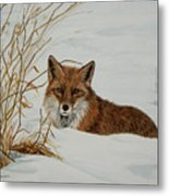 Vexed Vixen - Red Fox Metal Print