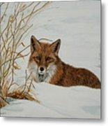 Vexed Vixen - Red Fox Metal Print