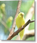 Vibrant Yellow Budgie Parakeet In The Summer Metal Print