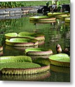 Victoria Amazonica Giant Lily Pads  Metal Print