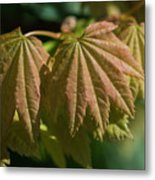Vine Maple Leaves Metal Print