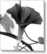 Vine Offering B And W Metal Print