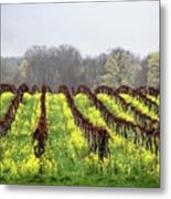 Vineyard In Westfield Metal Print