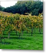 Vineyards In California Metal Print