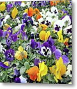 Viola In The Spring Are Especially Beautiful. Metal Print