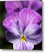 Viola Named Columbine Metal Print
